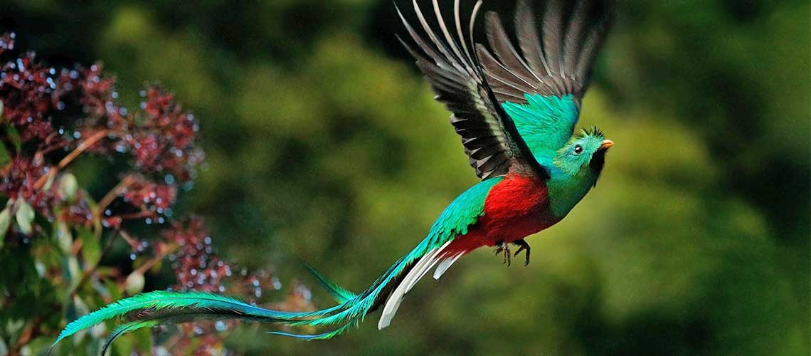Colourful bird flying in Costa Rica